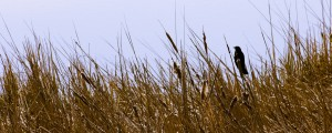 Red-winged blackbird on cat tails