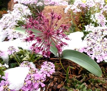 Allium karataviense var. henrikii