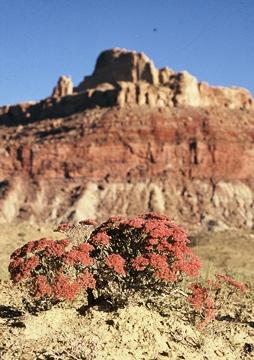 Eriogonum corymbosum 'San Rafael'