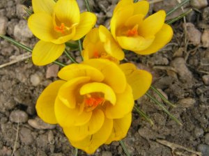 Cheerful Crocus