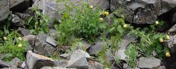 Corydalis nobilis 3