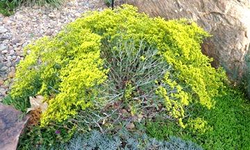 Eriogonum corymbosum yellow