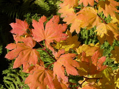 Closeup of vine maple foliage taken this week