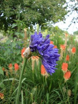 Agapanthus 'Headbourne Hybrid'