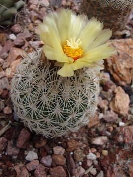 Escobaria echinus
