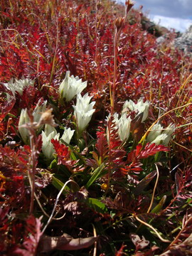 Arctic gentian and autumn avens folliage