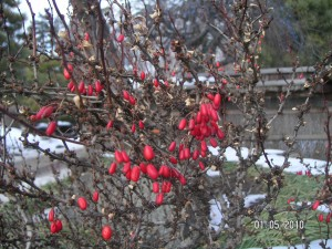 Barberries in January
