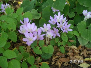 Colchicum, a fall-blooming crocus