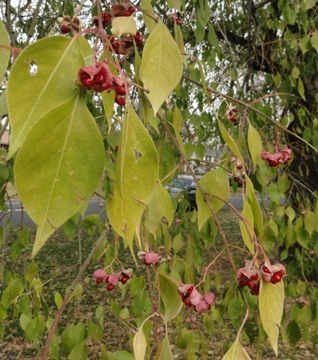 Euonymus bungeana (Oriental spindle tree)