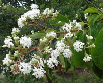 Tree or shrub heptacodium excels at both denver botanic gardens not only are the seedheads in late autumn spectacular but the flowers are a lovely pure white it blooms much of august and september mightylinksfo