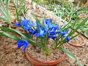 Chilean blue crocus (Tecophilaea cyanocrocus)