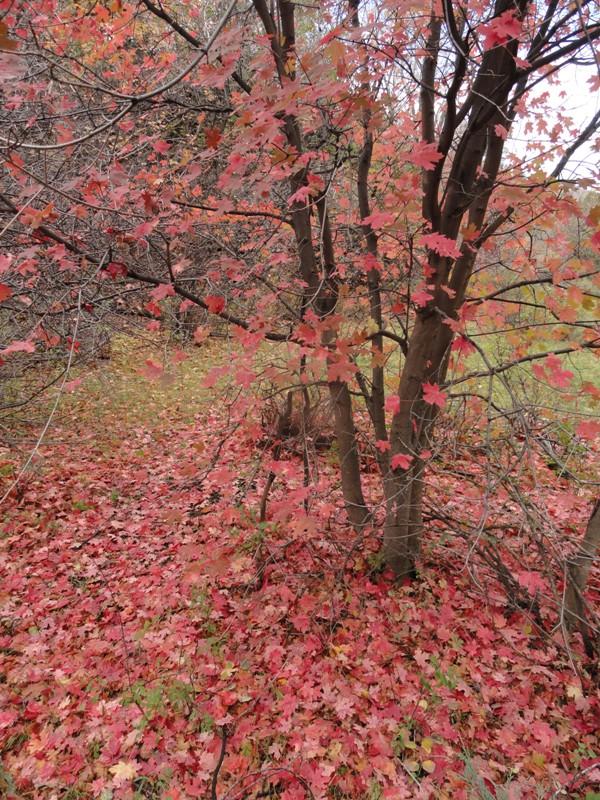 Misnomer valley: bigtooth maple in Colorado!   Denver Botanic Gardens