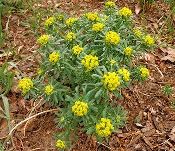Euphorbia cyparissius