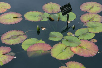 Fall Waterlily Leaves