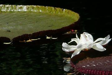 First Victoria Waterlily Flower