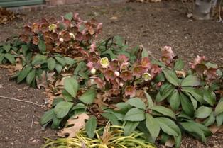 Helleborus x ericsmithii