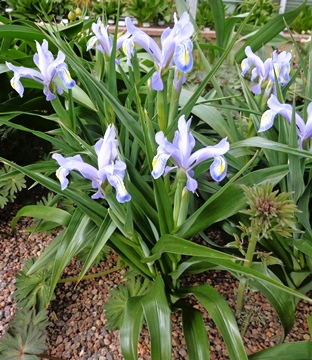 Iris graeberiana x magnifica DSC05482