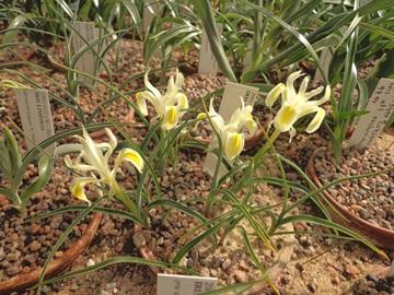Iris linifolia DSC05546