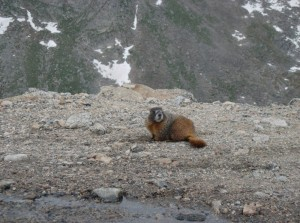 Marmot standing tall near Mount Goliath