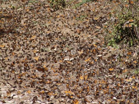 Monarchs fluttering on the ground