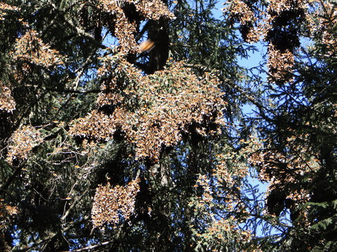 Monarchs on Oyamel Fir
