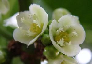 Garcinia spicata flowers