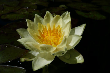 Nymphaea 'Helvola' waterlily