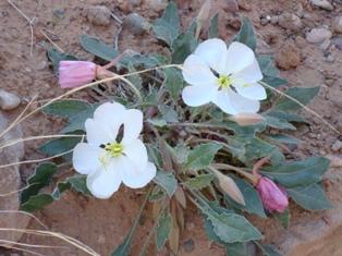 Evening primrose (Oenothera caespitosa)
