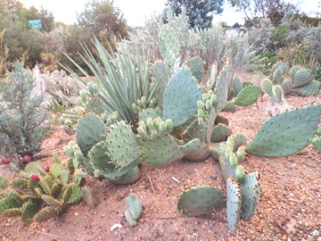 Opuntia cycloides at my house last fall