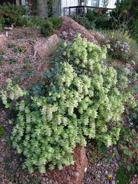 Origanum acutidens: a perfect lime cooler!