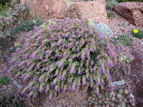 Origanum x suendermannii: cool lavender pink