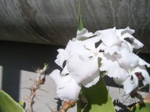 Pachypodium Bloom