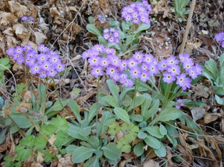 Primula specuicola Moab April 08 561