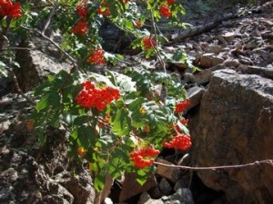 Rocky Mountain mountain ash (Sorbus scopulina)