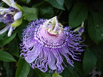 Passion Flower Passiflora caerulea