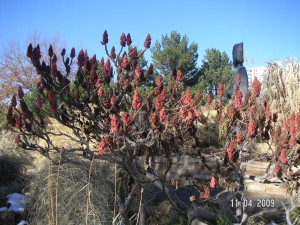 Sumac in Fruit