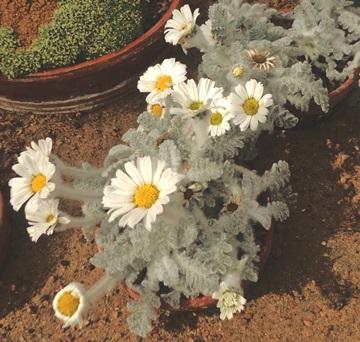 Tanacetum leontopodium