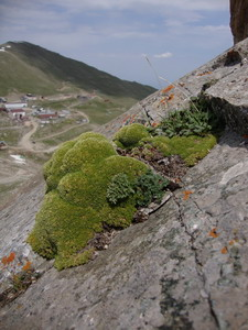 Thylacospermum caespitosum on Tien Shan