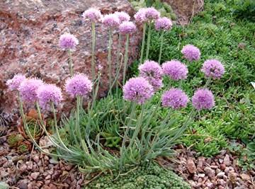 Allium senescens v. glaucum