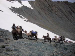 Camel Caravan in Mongolian Altai