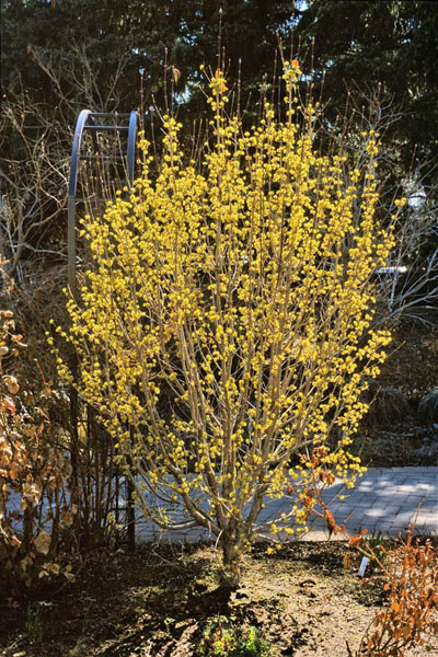 Cornelian Cherry (Cornus mas) in the Romantic Gardens