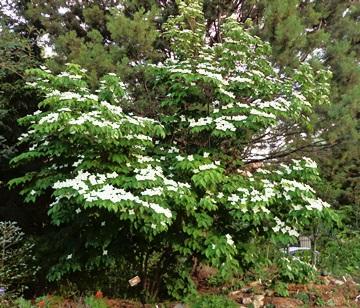 Cornus tree