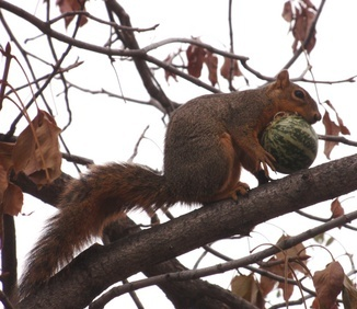 This squirrel stole the buffalo gourd from the other squirrel and took it into the tree to eat.
