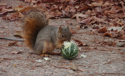 Squirrel eating a buffalo gourd (Curcurbita foetidissima)