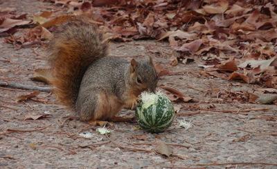 Squirrel eating a buffalo gourd (Curcurbita foetidissima)