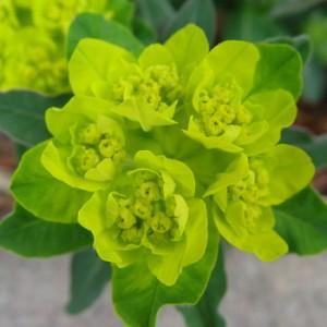 Euphorbia polychroma 'Candy'