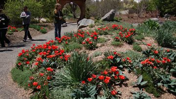 Red emperor tulips in Plantasia in April
