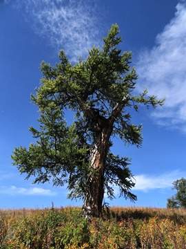 Giant larch