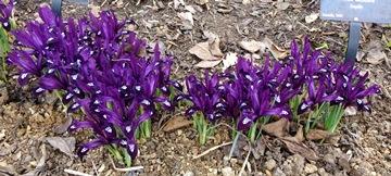 Iris 'Pauline'