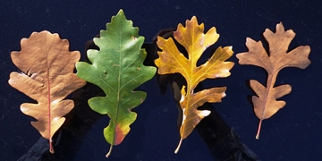 Burr Oak Leaves